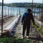 Весення посадака черенков в открытый грунт